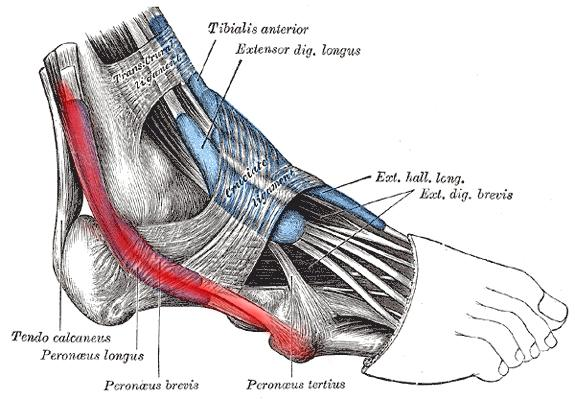 Do You Have Peroneal Tendonitis Here Is How To Fix It Runners Connect
